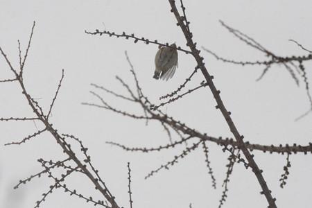 枝にぶら下がる キクイタダキ