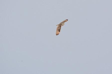 飛翔しながら、周りを見ているコミミズク