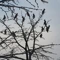 写真: ヒレンジャクの群れ2