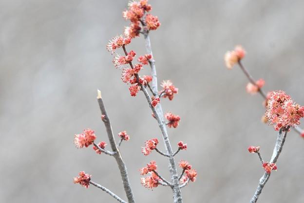 写真: カツラも開花