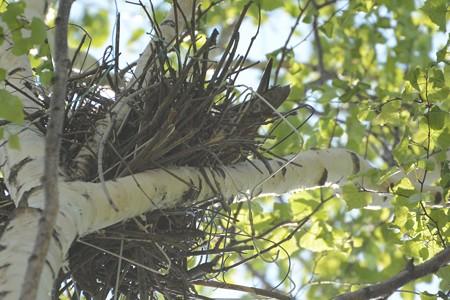チゴハヤブサ抱卵