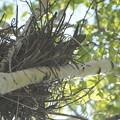 写真: チゴハヤブサ抱卵