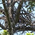 写真: 心配なチゴハヤブサ巣
