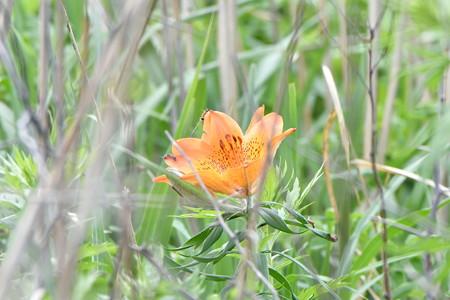 エゾスカシユリ 開花