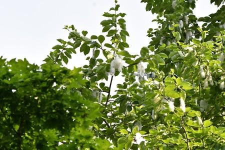 改良ポプラ 種3