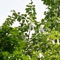 写真: 改良ポプラ 種3