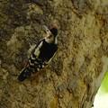 写真: アカゲラ巣立ち雛