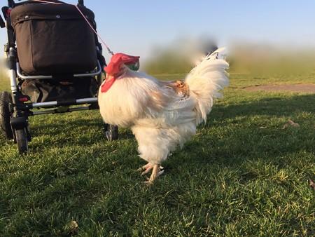 有精卵から孵化した鶏さん