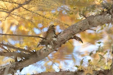 秋のツグミ
