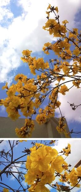 この時期満開のイペー、ブラジルでは国花なんだ