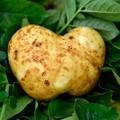 ハート形のジャガイモ