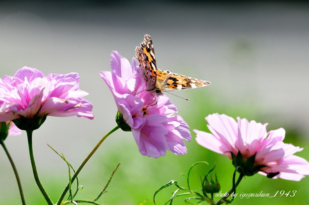 Photos: 蝶と秋桜