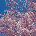 Photos: 桜祭り