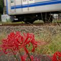 写真: 線路わきのヒガンバナ