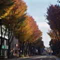 Photos: ケヤキ並木