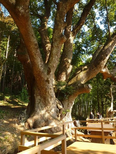 越生町 クスノキの巨木1