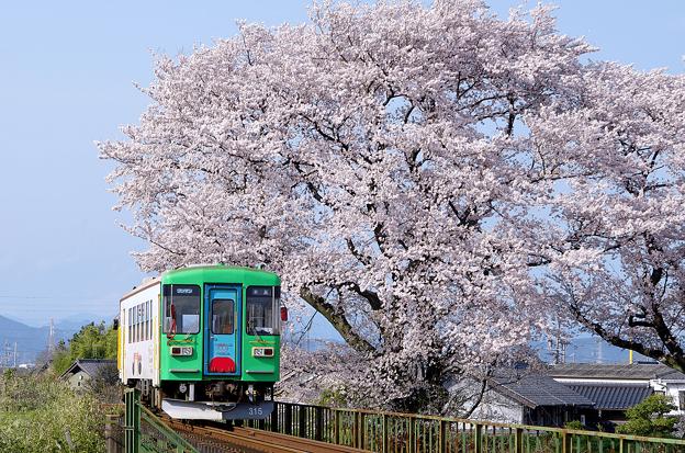 桜と樽見鉄道(5)
