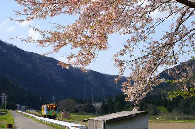 桜と樽見鉄道(10)