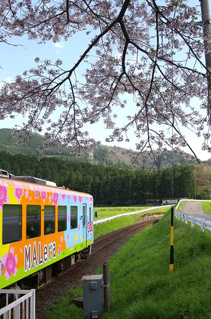 桜と樽見鉄道(12)