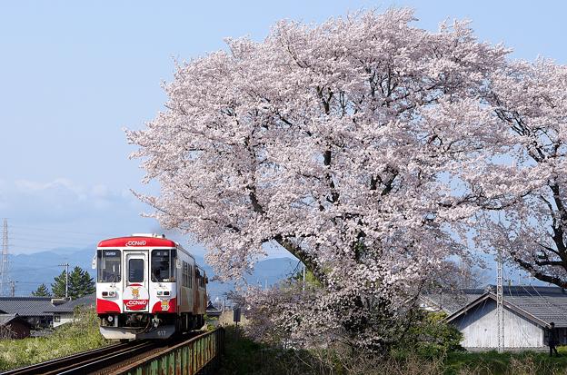 桜と樽見鉄道(4)
