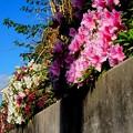 小日向高台 ツツジの花