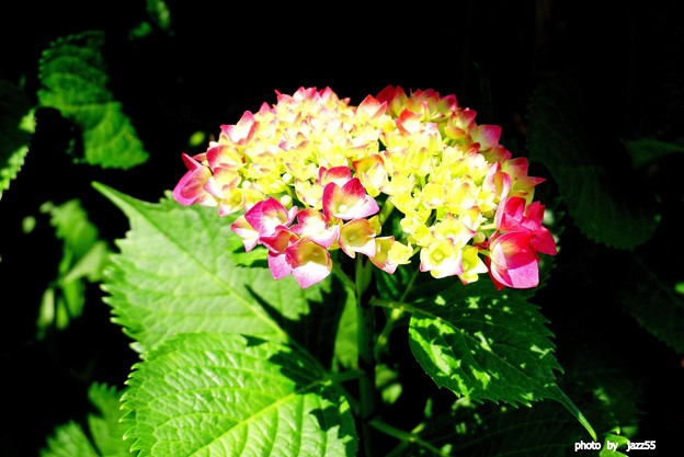 白山神社境内にて紫陽花
