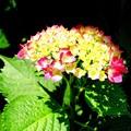 写真: 白山神社境内にて紫陽花