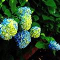 写真: 白山神社境内 紫陽花