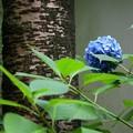 桜の幹と紫陽花一輪