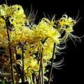 やや 黄色い彼岸花