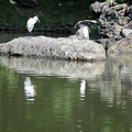庭園の池に鷺が二羽
