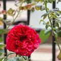 雨に濡れた薔薇。。