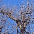 落葉した銀杏の 木。。