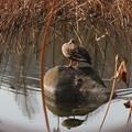 石の上の鴨