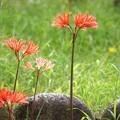 写真: リコリス咲いて