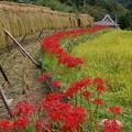 写真: 棚田の彼岸花