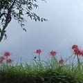 写真: 蝶と彼岸花