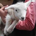 写真: 真っ白子羊