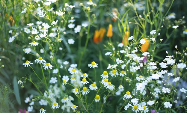 写真: カモミールの園