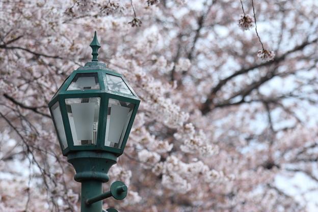 暈かした桜