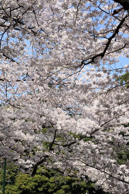 山手公園の桜2