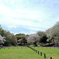 芝グランドと桜