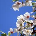 写真: 青空と桜