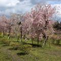 枝垂れ桜も