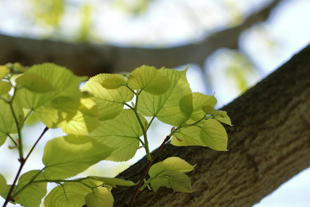 菩提樹の新緑