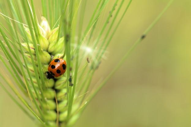 大麦と天道虫