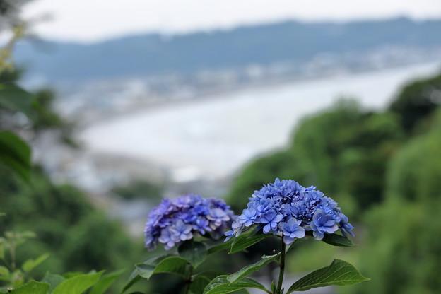 紫陽花と由比ガ浜