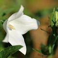 四枚花びらの白い桔梗