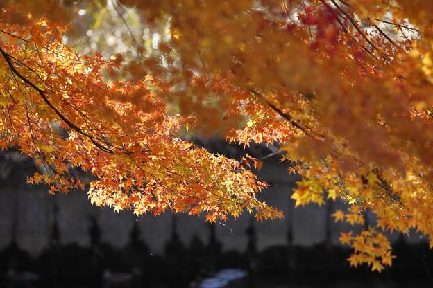 紅葉は日に当たると綺麗です。