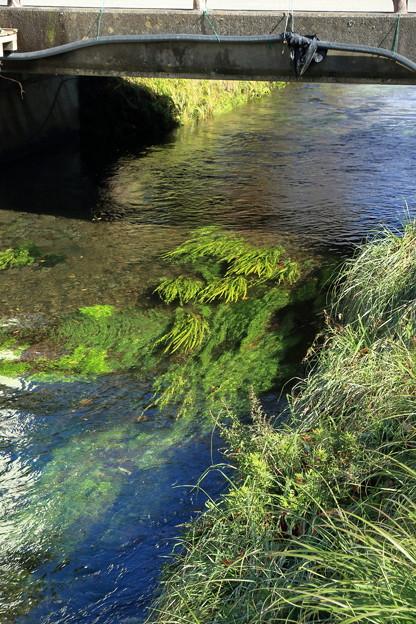 忍野の川の流れ